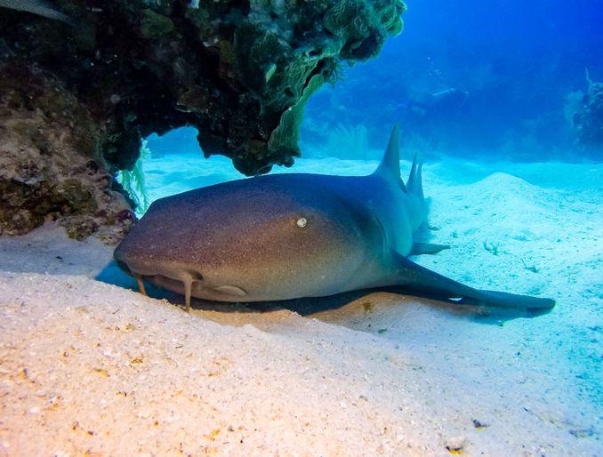 Ammenhai am Meeresboden