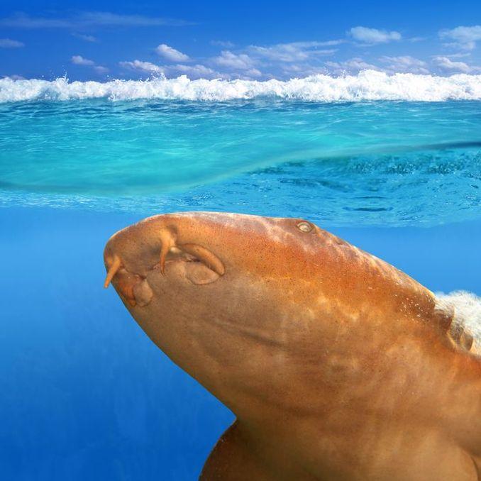 Ammenhai von unten gesehen.