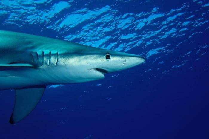 Blauhai - Nahaufnahme von der Seite