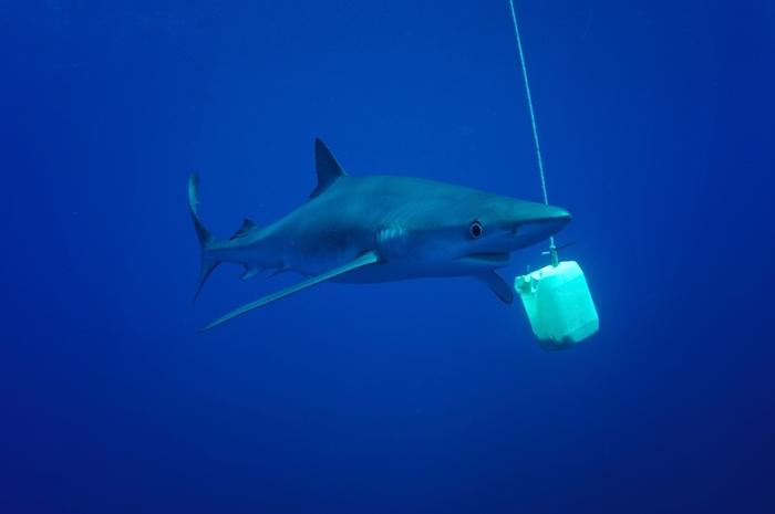 Blauhai schräg von vorne