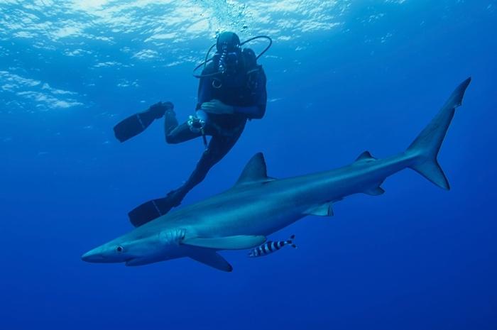 Taucher und neugieriger Blauhai