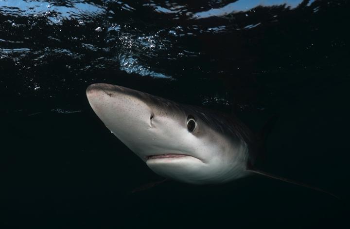 Blauhai von vorne