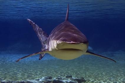 Bullenhai von vorne gesehen