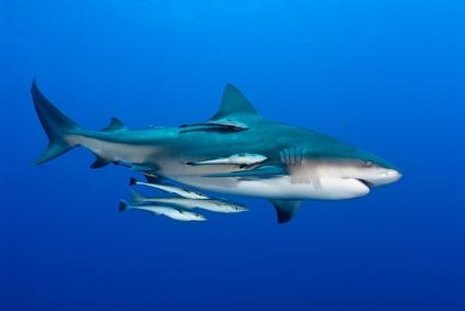 Bullenhai von der Seite gesehen