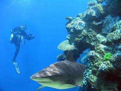 Bullenhai und Taucher