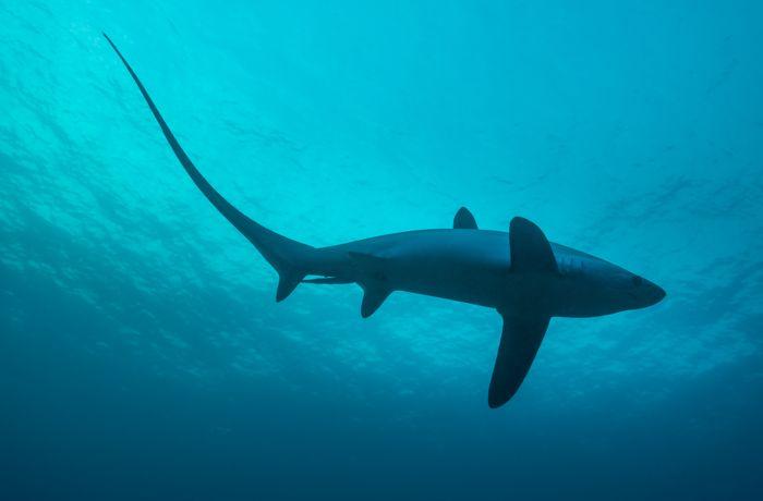 Fuchshai von unten gesehen