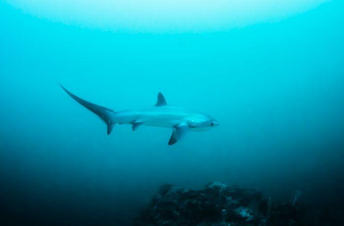Fuchshai von hinten gesehen