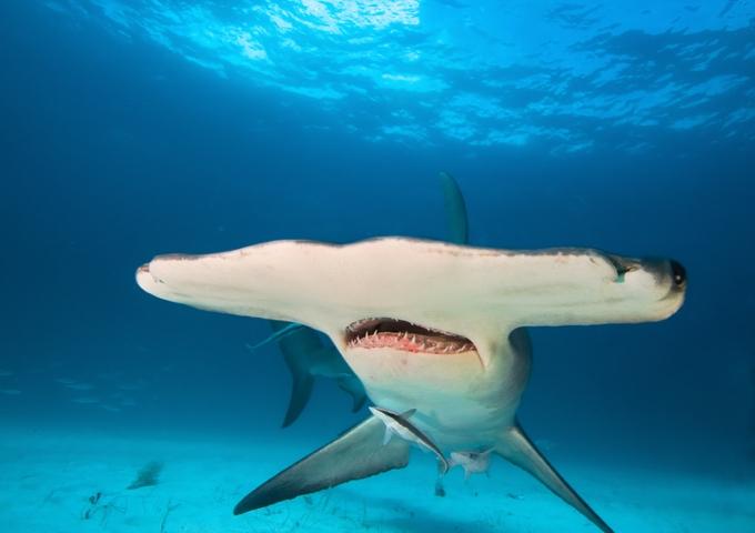Grosser Hammerhai auf den Bahamas