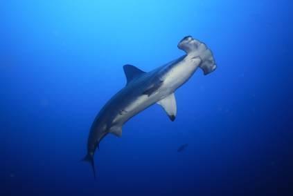Cocos Island ist bekannt als Tauchrevier mit Großfischen, wie Haien, Mantas und Orcas.