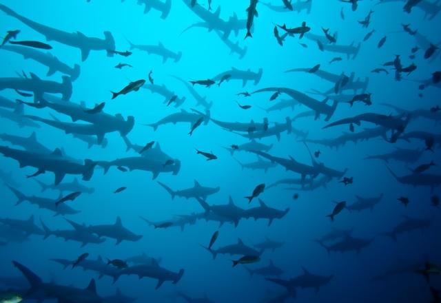 Schule von Hammerhaien vor Galapagos