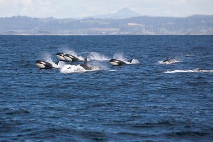 Orca Wale, die einzigen natürlichen Feinde das weißen Hais
