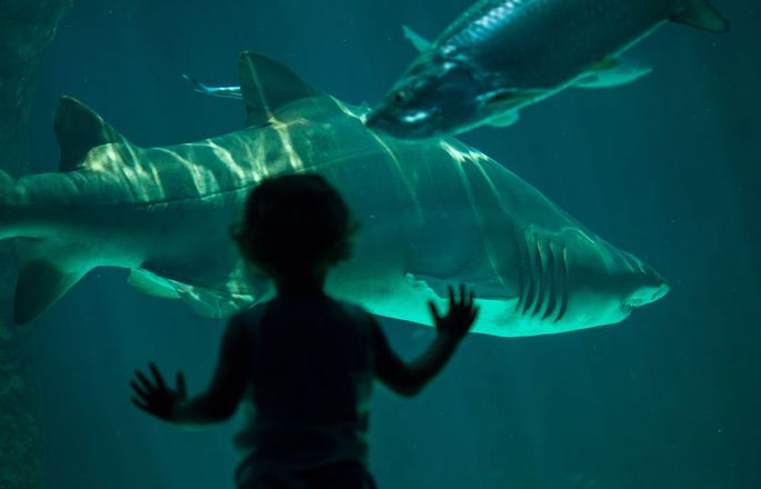 Sandtigerhai im Aquarium gehalten