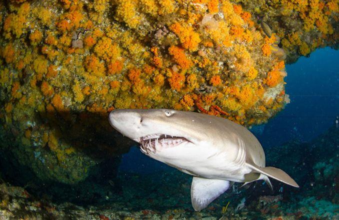 Sandtigerhai von vorne gesehen