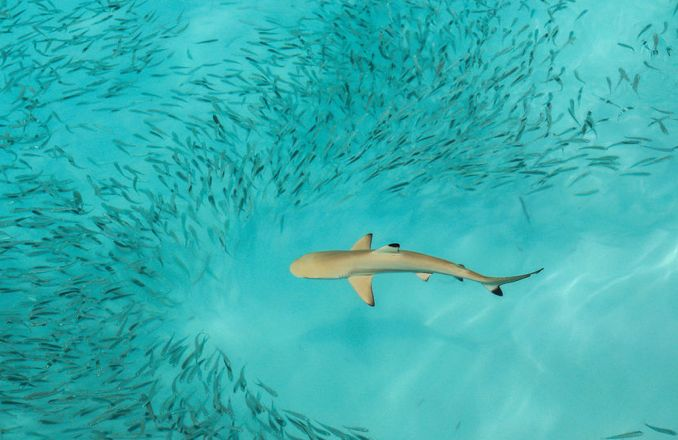 Schwarzspitzen-Riffhai auf der Jagd nach kleineren Fischen