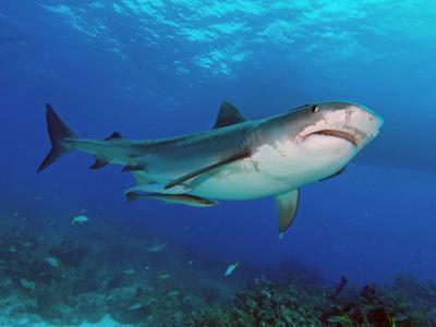 Tigerhai von schräg unten fotografiert