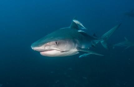 Tigerhai von vorne fotografiert