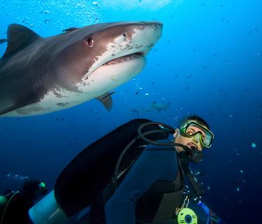Begegnung zwischen Tigerhai und Taucher