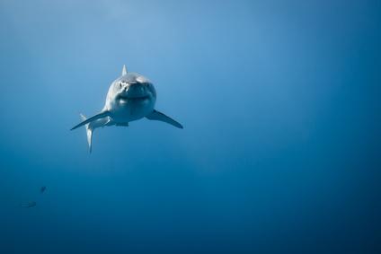 Weißer Hai in Mexiko