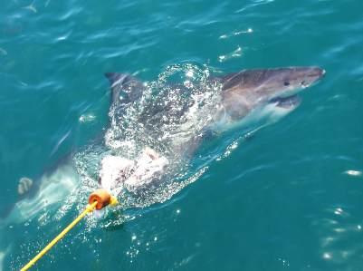 Gansbaai in Südafrika ist für die weissen Haie bekannt, die dort bepbachtet werden können.