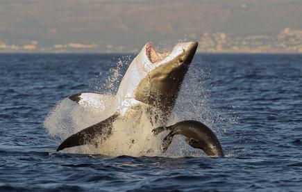 Weißer Hai - Erfolglose Robbenjagd