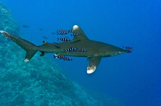 Weißspitzen-Hochseehai mit Schiffshalterfischen