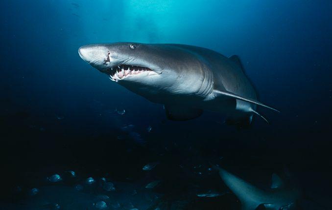 Sandtigerhai - beeindruckende Größe und lange große Zähne