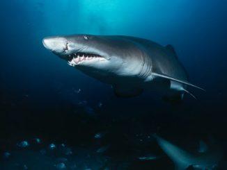 Sandtigerhai - beieindruckende Größe und lange Zähne