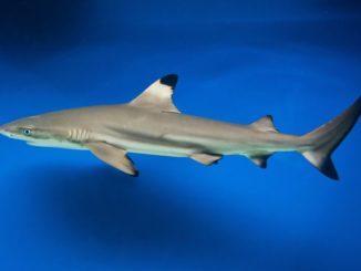 Schwarzspitzen-Riffhai von der Seite gesehen
