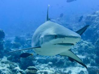 Grauer Riffhai von vorne gesehen